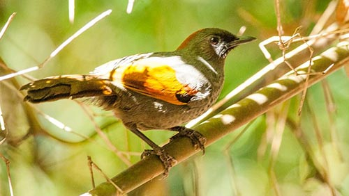 central-highland-and-southern-of-vietnam-vietnamese-endemic-birdtour