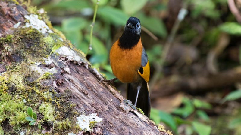 The best comprehensive birding of Vietnam - 2020