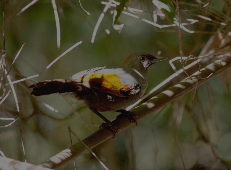 golden-winged-laughingthrush-and-new-birding-spots-in-kon-tum-central-highland-vietnam